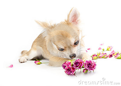 Sweet chihuahua puppy admiring pink roses
