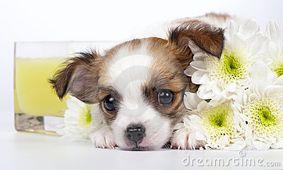 Sweet Chihuahua puppy with chrysanthemums flowers