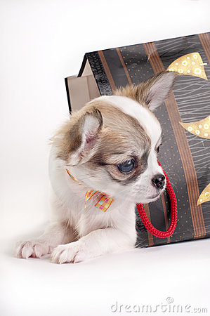 Sweet chihuahua puppy in the gift bag