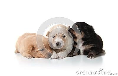 Sweet and Cuddly Pomeranian Newborn Puppies