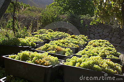 Sweet grape harvest