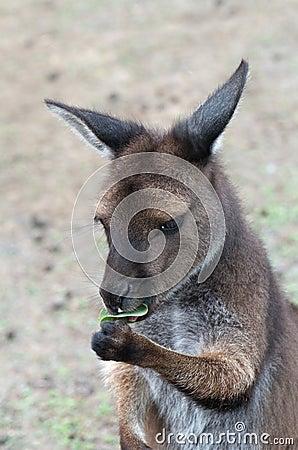 Sweet kangaroo