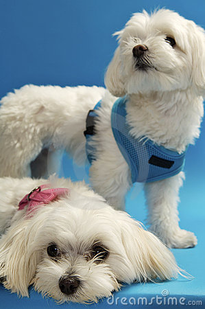 Sweet Maltese Pups