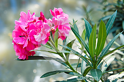 Sweet Oleander