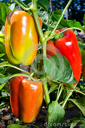Free Sweet Orange Bell Peppers Royalty Free Stock Photos - 33181078