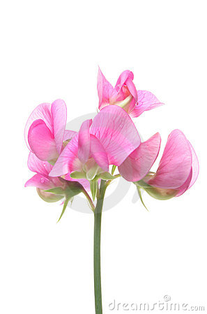 Sweet Pea Royalty Free Stock Photo Image 5636695