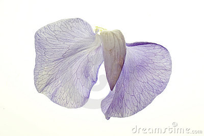 Sweet Pea Blossom on White