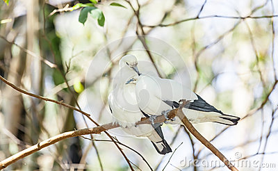 Sweet Pied imperial pigeon bird sleep together