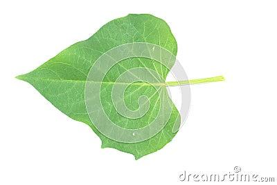 Sweet potato leaf
