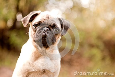 Sweet pug puppy face