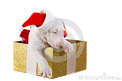 Sweet puppy in Christmas present box