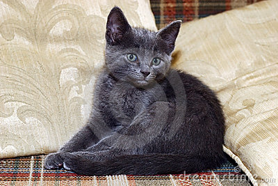 Sweet silver kitten on sofa