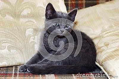 Sweet silver kitten on sofa
