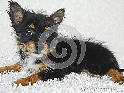 Sweet Yorki-Pom Puppy