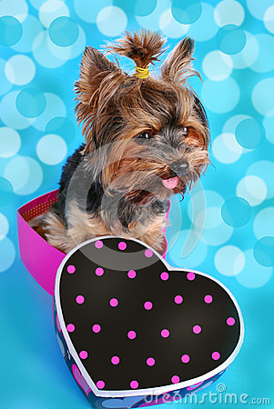 Free Sweet Yorkshire Dog Sitting In Heart Shaped Box Royalty Free Stock Image - 37649056