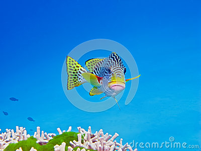 Sweetlips, Great Barrier Reef, Australia