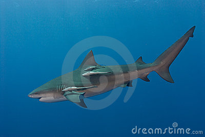Swift bullshark