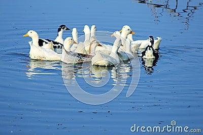 Swiming duck