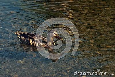 Swimmig kaczka