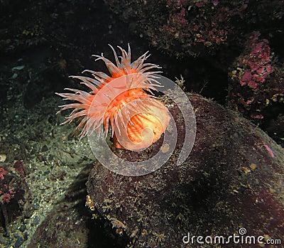 Swimming Anemone (Stomphia didemon)