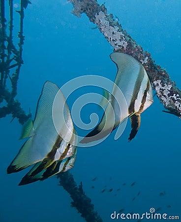 Free Swimming Batfish Royalty Free Stock Photos - 24288598