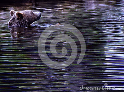 A swimming bear