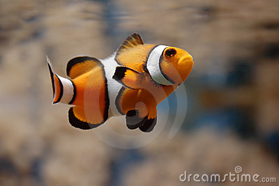 Swimming Clownfish II
