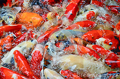 The swimming colorful carps