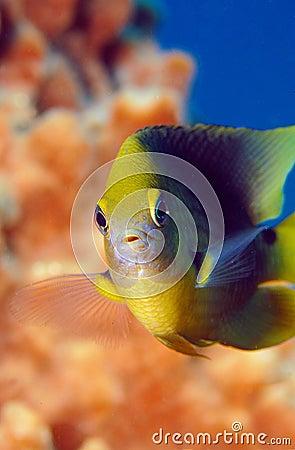 Swimming damselfish