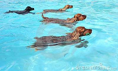 Swimming Dogs Stock Photos - Image: 10167883