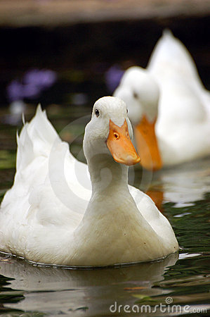 Free Swimming Duck Royalty Free Stock Photography - 3479857