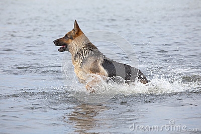 Swimming Germany shepherd dog