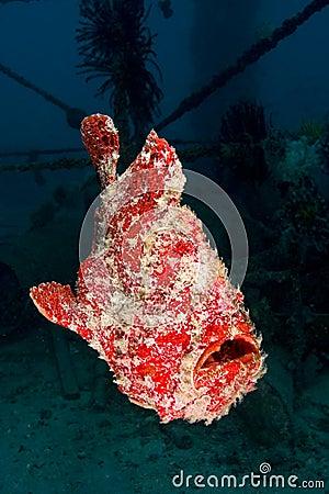 Free Swimming Giant Frogfish (orange) Stock Photos - 18478173