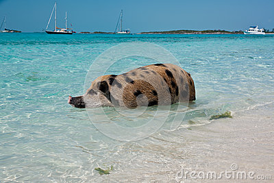 Swimming Island Pigs