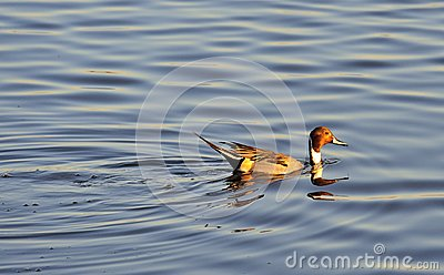 Swimming male Pintail duck, (Anas acuta)