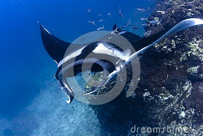 Swimming Manta Ray underwater in the ocean