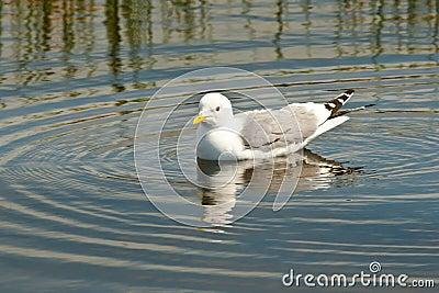 Swimming Mew Gull