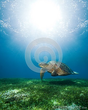 Free Swimming Sea Turtle In Sunlight Stock Photo - 25426930