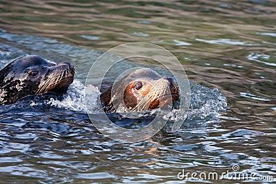 Swimming Sealion
