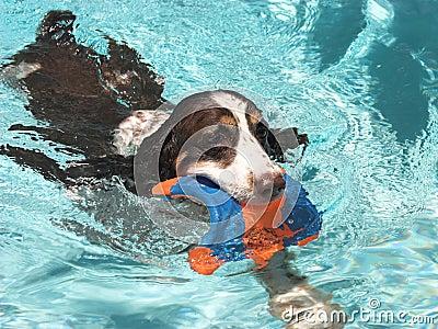 Swimming Spaniel