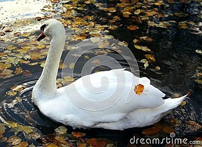 Swimming swan in autumn park