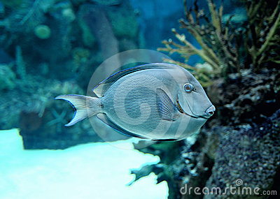 Swimming tropical fish