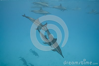 Swimming wild Spinner dolphins.