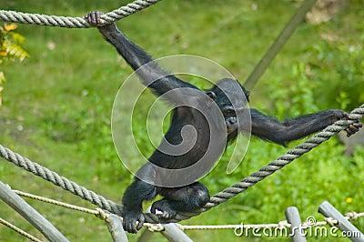 Swinging ape