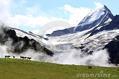 Swiss Alps: the Upper Grindelwald Glacier and cows