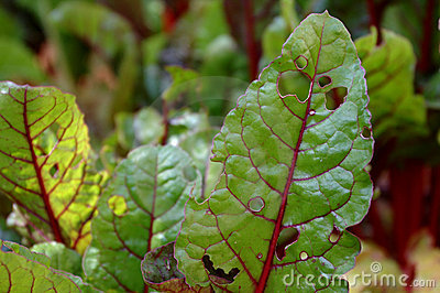 Swiss chard plant leaves partly eaten by pests