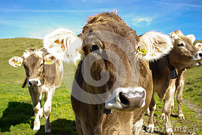 Swiss cows with bells