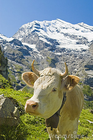 Swiss cows in the high pasture