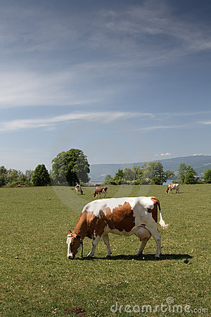 Free Swiss Cows Out To Pasture Royalty Free Stock Photography - 20281017