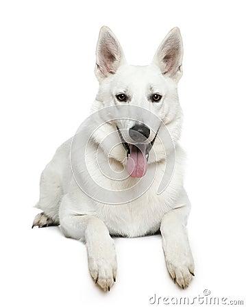 Swiss Shepherd dog, 1 year old, lying Royalty Free Stock Photos
